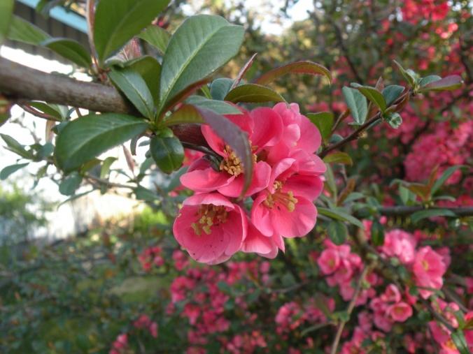 Rosenkvitten i vacker blom!