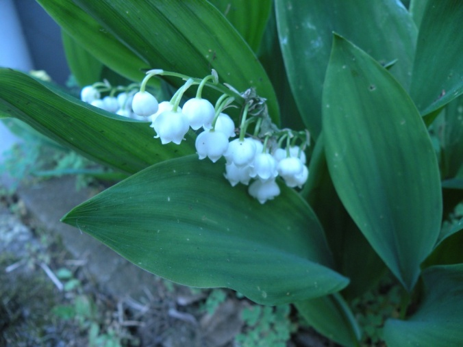 Lily of the valley. Söt blomma, ljuvlig doft!