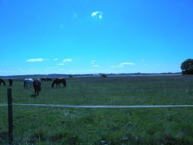 Sommarlediga hästar i bete på strandängarna med havet och fästningen i sikte