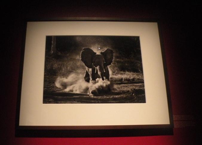 Charmerande elefantunge i full fart!