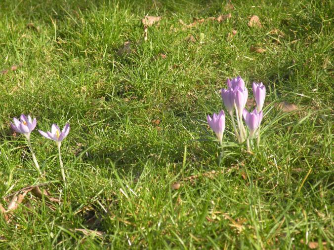 Krokus i gräset