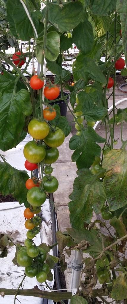Tomatfröjd